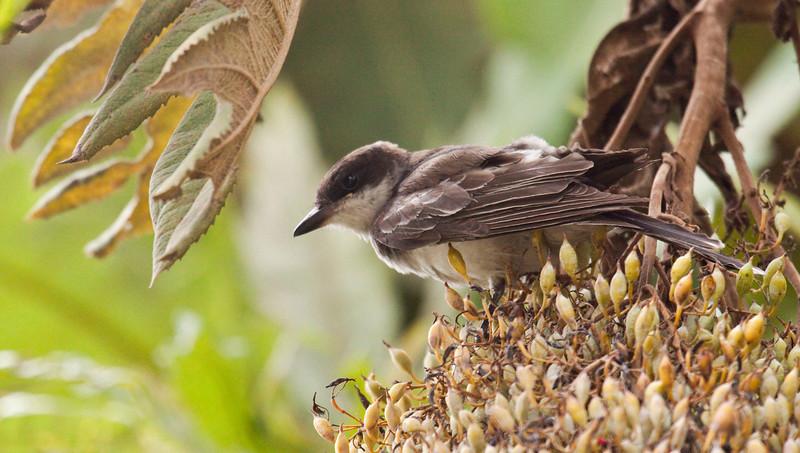 EASTERN KINGBIRD - Tyrannus tyrannus - 1cy bird -<br /> Jardin Botanico, Quito, 9 Nov 2012, Pichincha, Ecuador