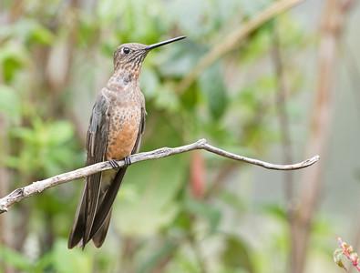 GIANT HUMMINGBIRD - Patagona gigas - Antisana, November 2018, Napo, Ecuador