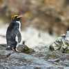 MACARONI PENGUIN - Eudyptes chrysolophus -<br /> Royal Bay, November 2016, South Georgia
