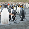 GENTOO PENGUIN - Pygoscelis papua - & KING PENGUIN - Aptenodytes patagonicus -<br /> Gold Harbour, November 2016, South Georgia
