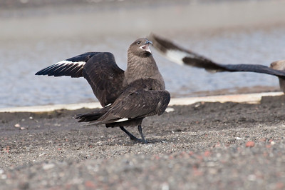 SOUTH POLAR SKUA - Stercorarius maccormicki - Deception Island, December 2016, Antarctic Peninsula