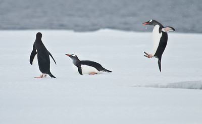 GENTOO PENGUIN - Pygoscelis papua - Wilhelmina Bay, December2016, Antarctic Peninsula
