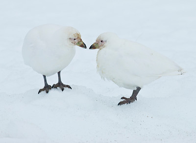 SNOWY SHEATHBILL - Chionis albus - Port Locroy, December 2016, Antarctic Peninsula