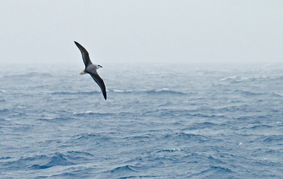 WHITE-HEADED PETREL - Pterodroma lessonii - At sea, November 2016, South Georgia