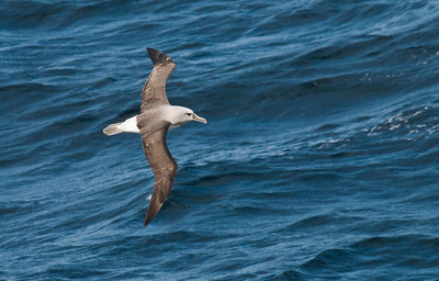 GREY-HEADED ALBATROSS - Thalassarche chrysostoma - At sea, December 2016, Drake Passage