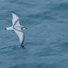 ANTARCTIC PRION - Pachyptila desolata -<br /> At sea near Drygalski Fjord, November 2016, South Georgia