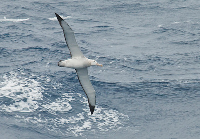WANDERING ALBATROSS - Diomedea exulans - At sea west of South Georgia, November 2016, South Georgia