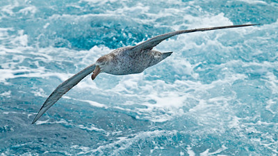 NORTHERN GIANT PETREL - Macronectes halli - At sea, November 2016, South Georgia