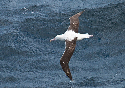 SOUTHERN ROYAL ALBATROSS - Diomedea epomophora - At sea, December 2016, Drake Passage