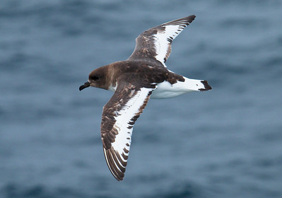 ANTARCTIC PETREL - Thalassoica antarctica - At sea, December 2016, Drake Passage