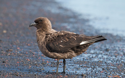 BROWN SKUA - Stercorarius antarcticus - Deception Island, December 2016, Antarctic Peninsula