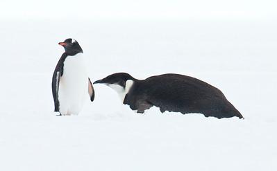 EMPEROR PENGUIN - Aptenodytes forsteri - Wilhelmina Bay, December 2016, Antarctic Peninsula