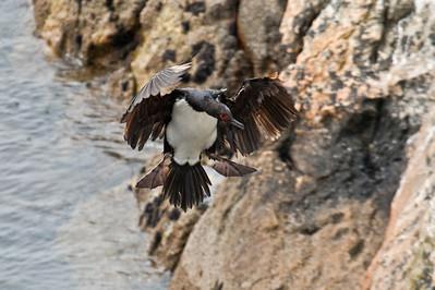 ROCK SHAG - Phalacrocorax magellanicus - Gypsy Cove, November 2016, Falkland Islands
