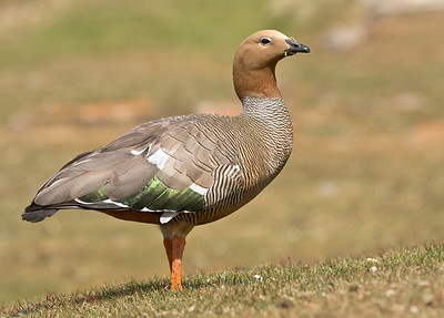 RUDDY-HEADED GOOSE - Chloephaga rubidiceps - West Point Island, November 2016, Falkland Islands