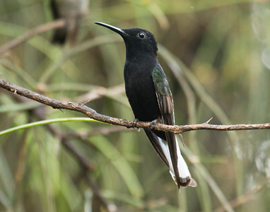 BLACK JACOBIN - Florisuga fusca - Puerto Iguazú, July 2016, Misiónes, Argentina