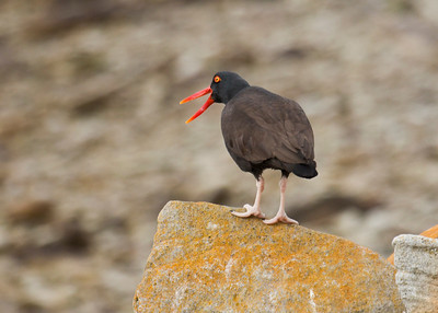 BLACKISH OYSTERCATCHER - Haematopus ater - West Point Island, November 2016, Falkland Islands