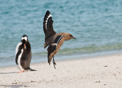 BROWN SKUA - Stercorarius antarcticus -  Carcass Island, November 2016, Falkland Islands