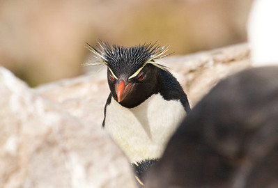 SOUTHERN ROCKHOPPER PENGUIN - Eudyptes chrysocome - West Point Island, November 2016, Falkland Islands