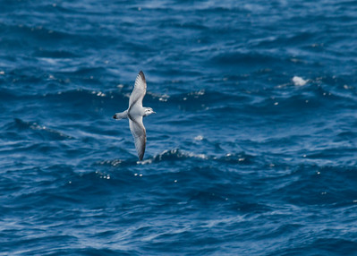 SLENDER-BILLED PRION - Pachyptila belcheri - At sea, November 2016, South-West of Falkland Islands