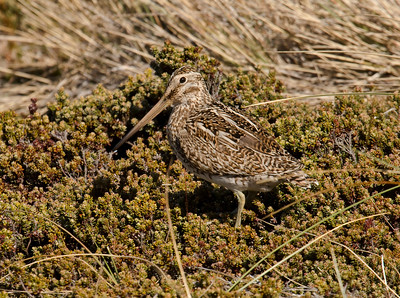 SOUTH AMERICAN SNIPE - Gallinago paraguaiae - Carcass Island, November 2016, Falkland Islands