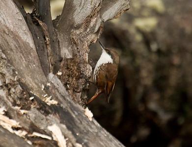 WHITE-THROATED TREERUNNER - Pygarrhichas albogularis - Ushuaia, November 2016, Argentina