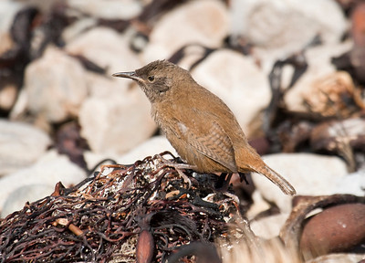 COBB'S WREN - Troglodytes cobbi - Carcass Island, November 2016, Falkland Islands