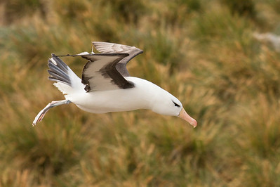BLACK-BROWED ALBATROSS - Thalassarche melanophris -  West Point Island, November 2016, Falkland Islands