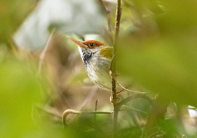 DARK-NECKED TAILORBIRD - Orthotomus atrogularis - Kaeng Krachan, March 2018, Phetchaburi, Thailand