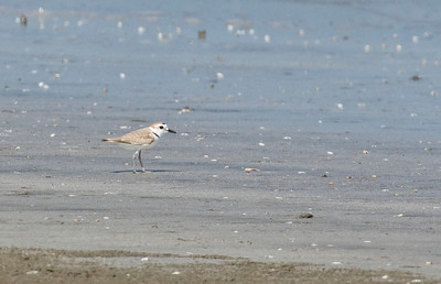 WHITE-FACED PLOVER - Charadrius dealbatus - Laem Phak Bia, March 2018, Petchaburi, Thailand