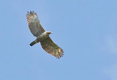 MOUNTAIN HAWK EAGLE - Nisaetus nipalensis - Daxueshan, Oct 2017, Taiwan