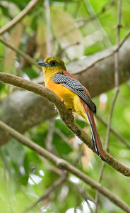 ORANGE-BREASTED TROGON - Harpactes oreskios - Kaeng Krachan, March 2018, Phetchaburi, Thailand