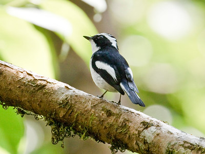 LITTLE PIED FLYCATCHER - Ficedula westermanni - Doi Lang, March 2018, Chiang Mai, Thailand