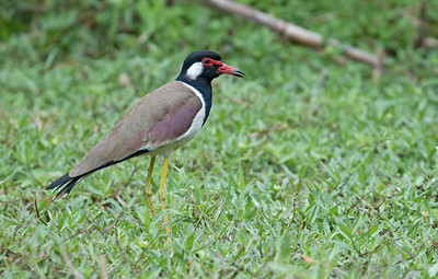 RED-WATTLED LAPWING - Vanellus indicus - Kaeng Krachan, March 2018, Phetchaburi, Thailand