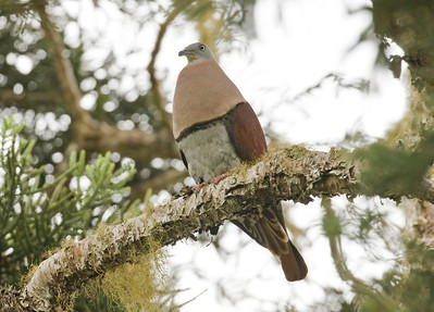 ZOE'S IMPERIAL PIGEON - Ducula zoeae - Varirata NP, August 2018, Papua New Guinea