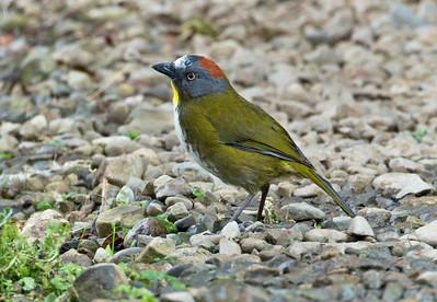 RUFOUS-NAPED BELLBIRD - Aleadryas rufinucha - Kumul, August 2018, Western Highlands, Papua New Guinea