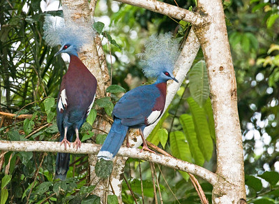 SCLATER'S CROWNED PIGEON - Goura sclaterii - Kwatu Camp, Elevala River, August 2018, Fly River Delta, Western Province, Papua New Guinea