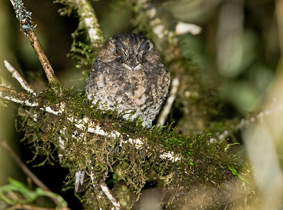 MOUNTAIN OWLET-NIGHTJAR - Aegotheles albertisi - Kumul, August 2018, Western Highlands, Papua New Guinea
