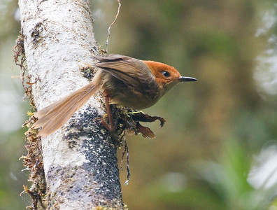ORANGE-CROWNED FAIRYWREN - Clytomyias insignis - Rondon Ridge, Mt Hagen, August 2018, Western Highlands, Papua New Guinea