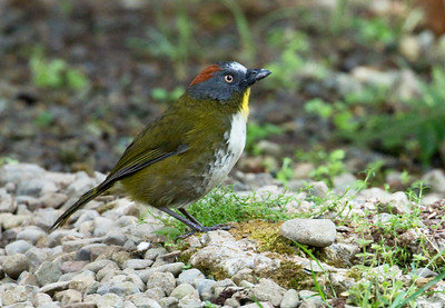 RUFOUS-NAPED BELLBIRD - Aleadryas rufinucha - Kumul, August 2018, Western Highlands, Papua New Guinea