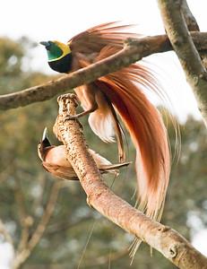RAGGIANA BIRD-OF-PARADISE - Paradisaea raggiana - Varirata NP, August 2018, Papua New Guinea