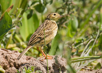 YELLOWISH PIPIT - Anthus lutescens - Piuval, Pantanal, July 2017, Mato Grosso, Brazil