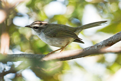 WHITE-BELLIED WARBLER - Basileuterus hypoleucus - Chapada dos Guimarães, July 2017, Mato Grosso, Brazil