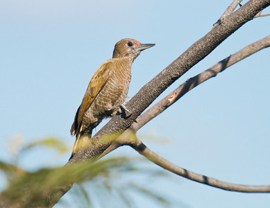LITTLE WOODPECKER - Veniliornis passerinus - Chapada dos Guimarães, July 2017, Mato Grosso, Brazil