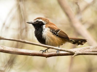 RUSTY-BACKED ANTWREN - Formicivora rufa - Pousada Rio Claro, Pantanal, July 2017, Mato Grosso, Brazil