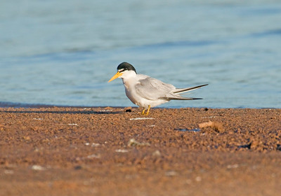 YELLOW-BILLED TERN - Sternula superciliaris - Porto Jofre, Pantanal, July 2017, Mato Grosso, Brazil