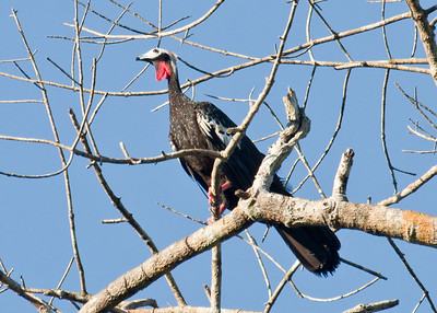 RED-THROATED PIPING-GUAN - Pipile cujubi - Cristalino Lodge, July 2017, Mato Grosso, Brazil