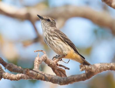 SCARLET FLYCATCHER - Pyrocephalus rubinus - Transpantaneira, Pantanal, July 2017, Mato Grosso, Brazil