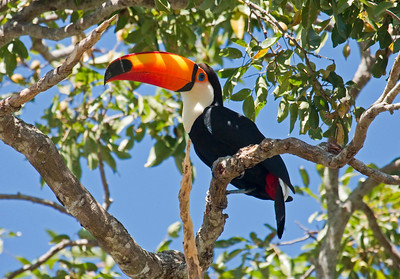 TOCO TOUCAN - Ramphastos toco - Porto Jofre, Pantanal, July 2017, Mato Grosso, Brazil