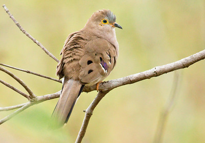 LONG-TAILED GROUND-DOVE - Uropelia campestris - Pousada Rio Claro, Pantanal, July 2017, Mato Grosso, Brazil