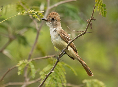 BROWN-CRESTED FLYCATCHER - Myiarchus tyrannulus - La Ensenada, May 2017, Puntarenas, Manzanillo, Costa Rica